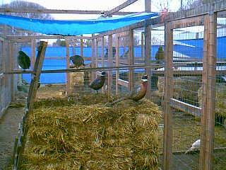cock[1].jpg