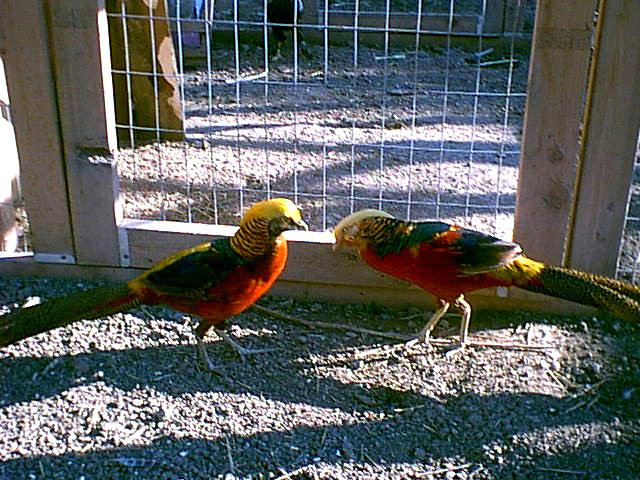 Dark Throat Red Golden & Red Golden